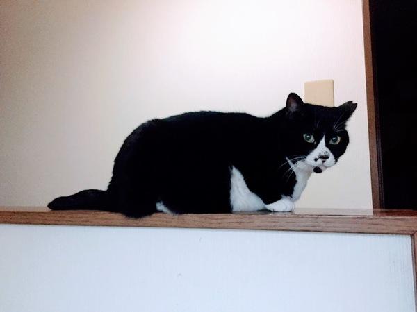 黒猫タキシードキャットのゼウス君