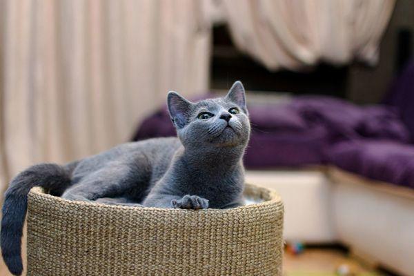 猫種別・ペットホテルに預ける際の注意点解説~ロシアンブルー~