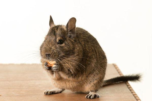ペットの種類別・ペットホテルに預ける際の注意点解説~ネズミ~